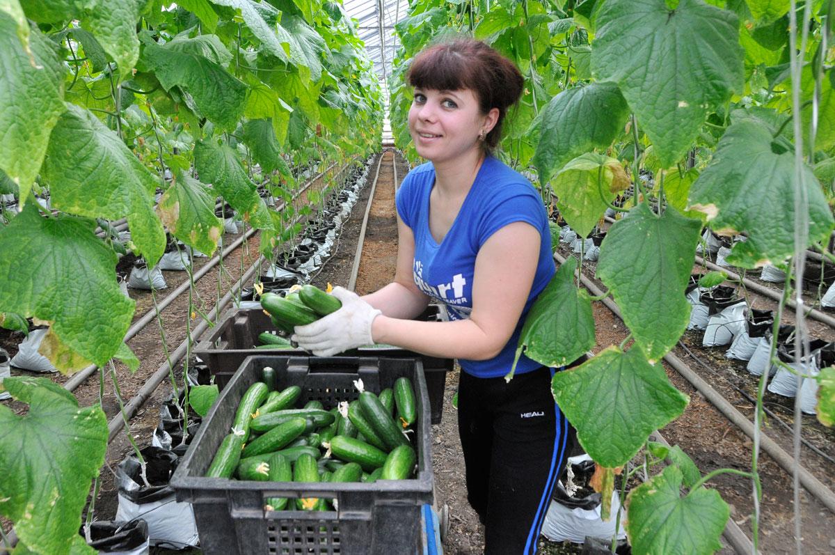 Минсельхоз России: сбор тепличных овощей вырос на 28,2%