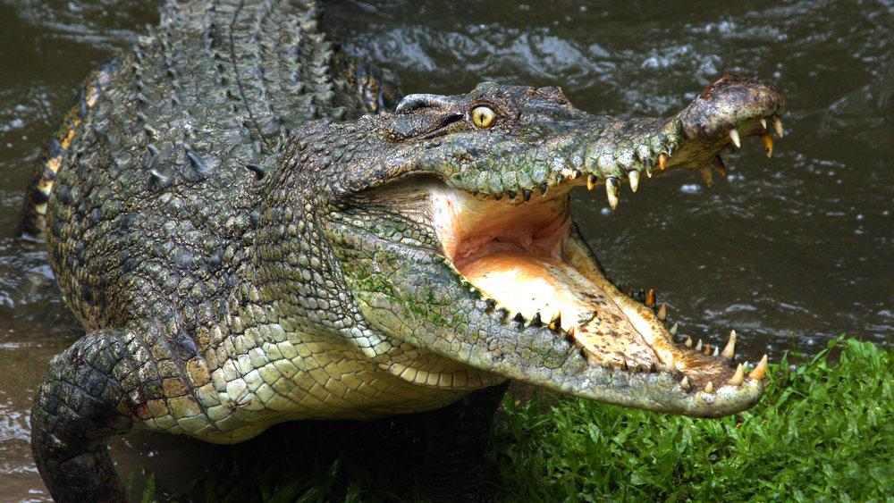 Нападение крокодила на девушку попало на видео