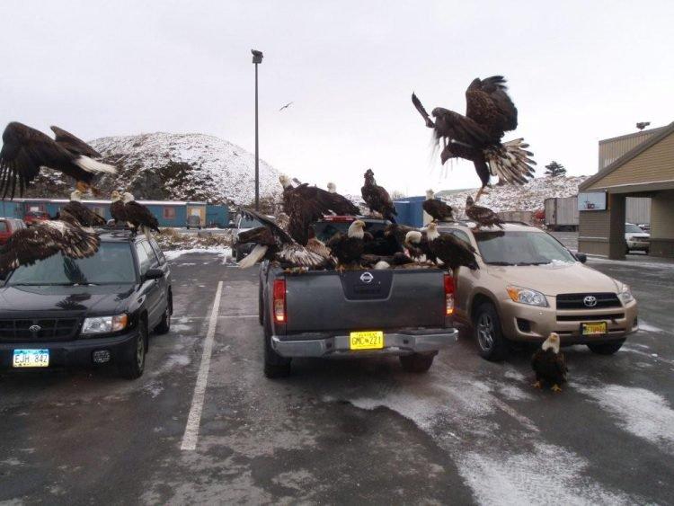 Орлы — голуби Аляски: как национальный символ США рыскает по помойкам