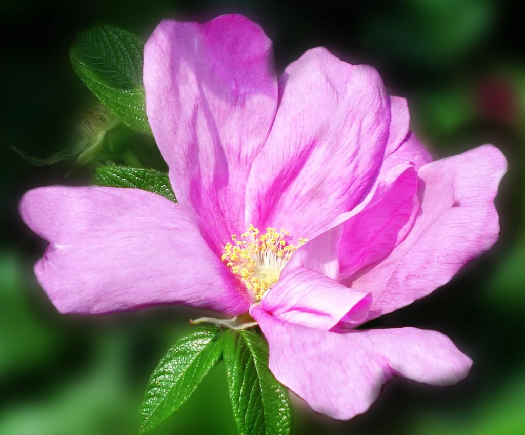 Цветок шиповника