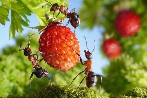 Малина цветет и не плодоносит – виноваты муравьи