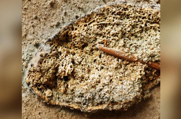 Под Воронежем нашли ребро мамонта с застрявшим костяным наконечником