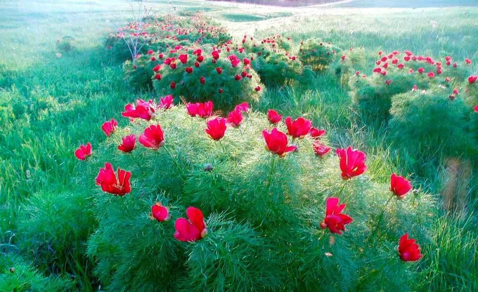 Пион выращивание и уход в открытом грунте фото