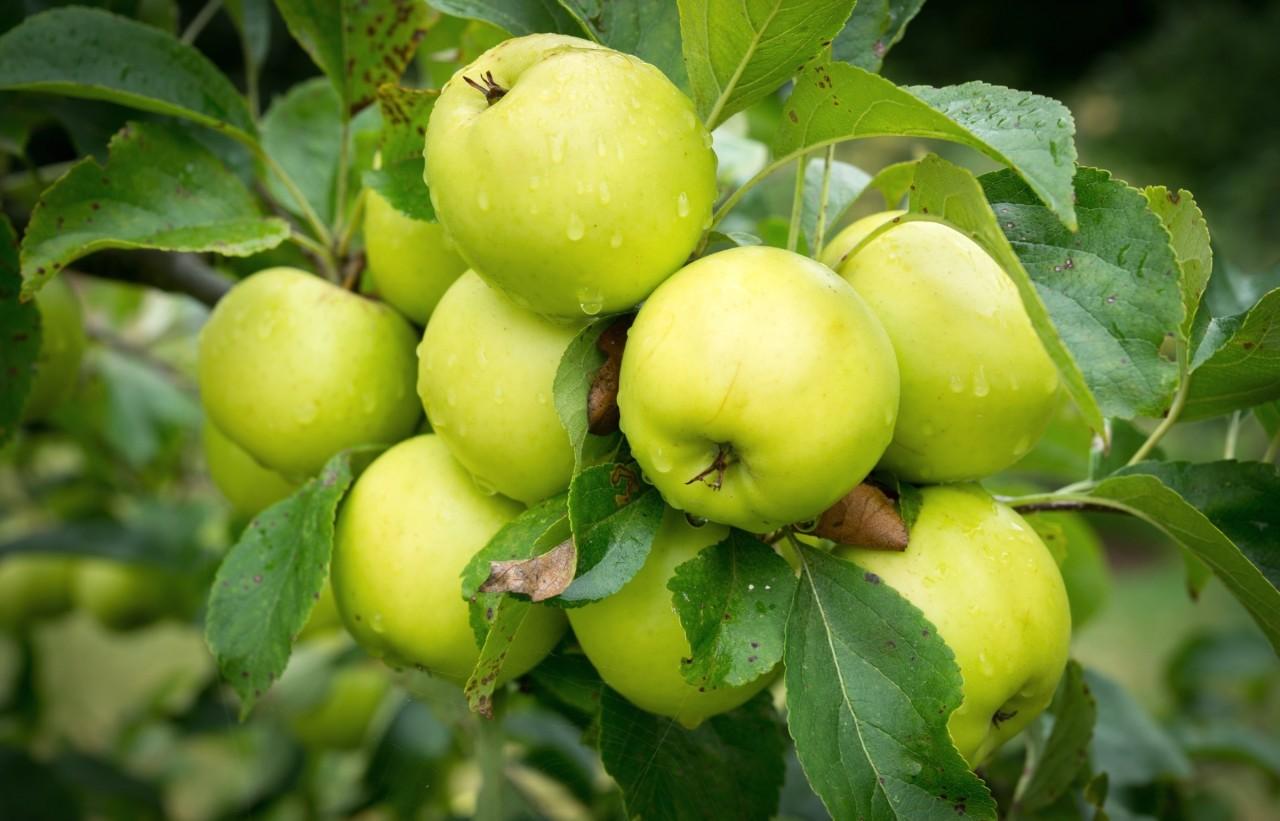 Почему расплакались яблони