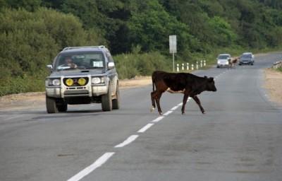 ДТП с коровой