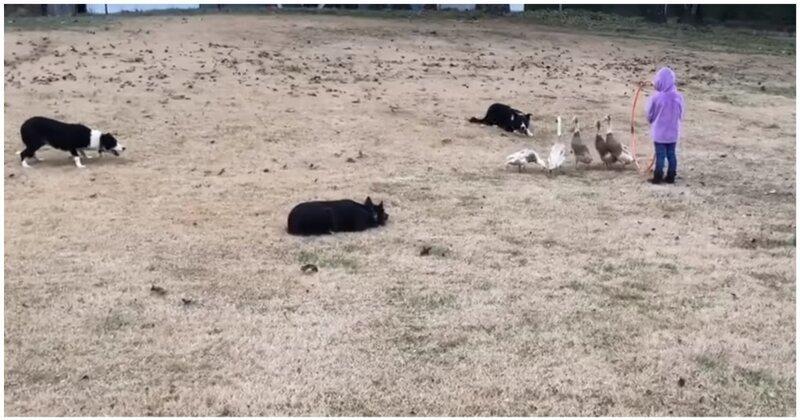 Чудеса дрессировки: настоящее шоу от владельца пастушьих собак
