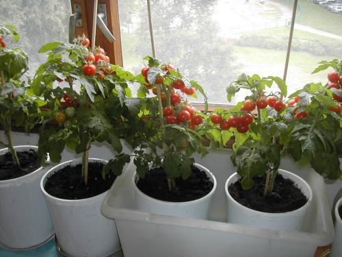 Как выращивать помидоры в домашних условиях фото