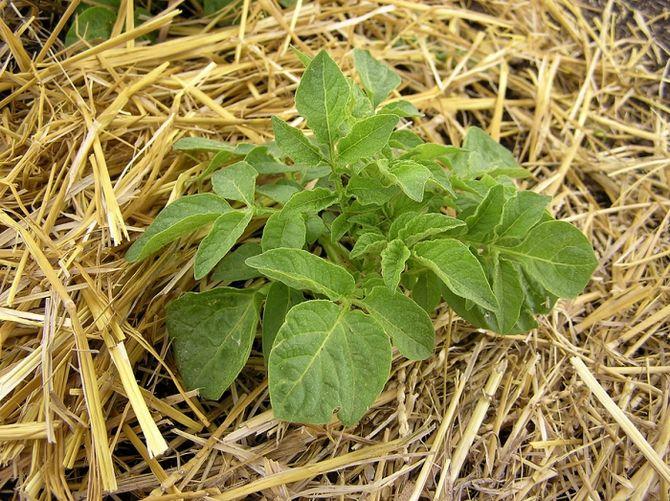 Соломенные огороды: мешок картошки посадили, 25 собрали