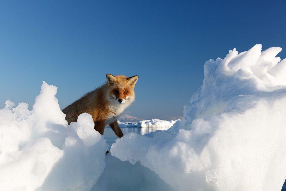 Спасение лисы, застрявшей на льдине