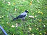 Ворона деловая