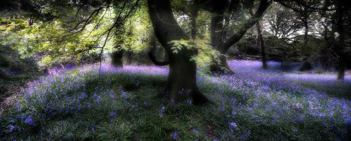 «Лес с колокольчиками», Дэвид Стэндли Фотоконкурс Королевского садоводческого общества 2014 года