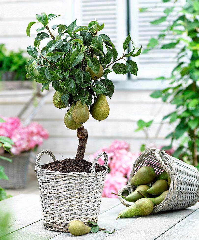 Карликовые груши – находка для малых садов