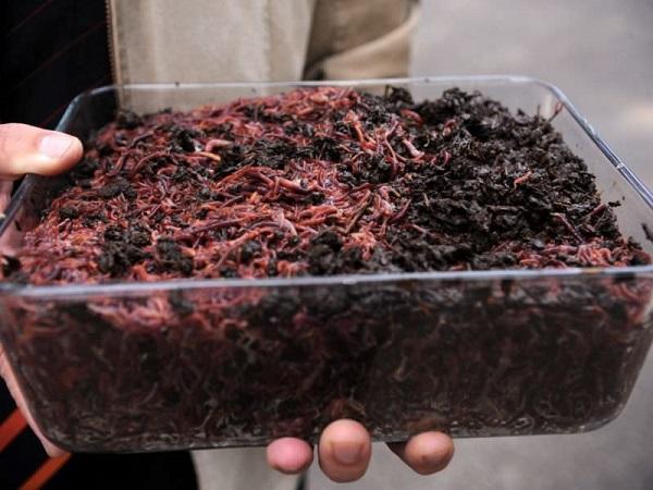 Самостоятельное выращивание червей для рыбалки.  (Часть 2)