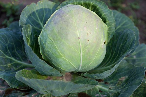 Среднепоздние сорта капусты