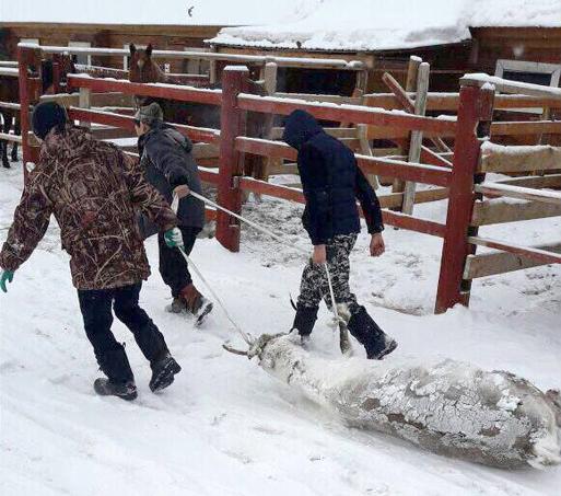 В Якутии участники съезда оленеводов насмерть закормили двух оленей
