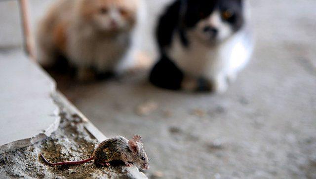 Кошачий паразит может вызывать рак и болезни мозга у человека!