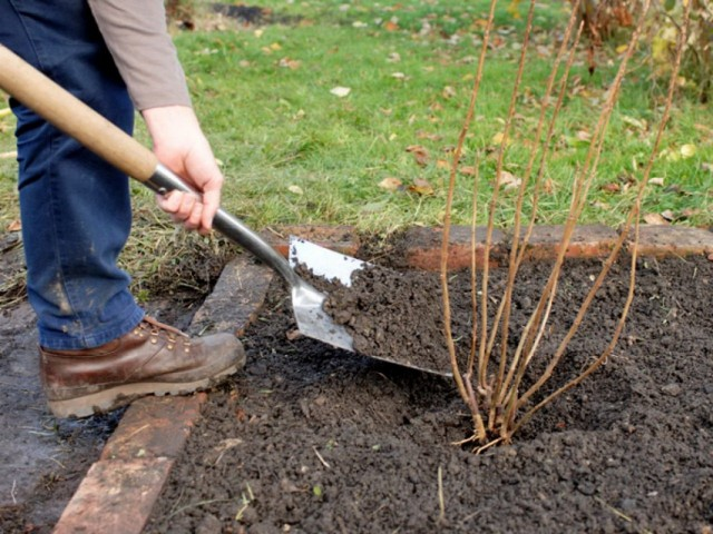 Подсыпка плодородного грунта к кусту чёрной смородины