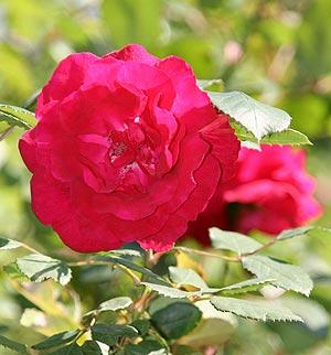 Цветочный гороскоп. Роза.
