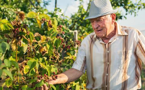 ежевика посадка и уход, выращивание ежевики, посадка ежевики осенью, посадка ежевики черенками, как выращивать ежевику, как вырастить ежевику на даче