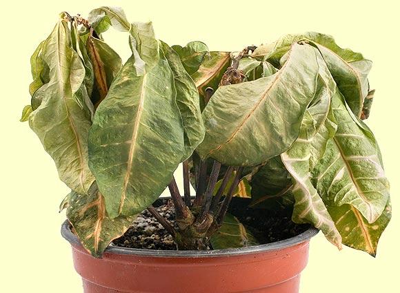 Как спасти почти засохшее растение? ВЫХОД есть