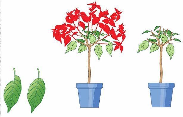Особенности выращивания бругмансии в кадке.