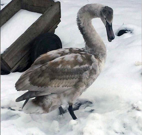 Жители Нальчика спасают дикого лебедя, заболевшего воспалением лёгких