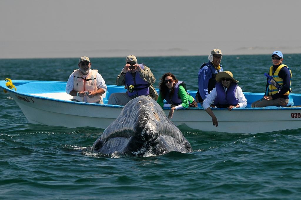 Дружелюбный Серый кит