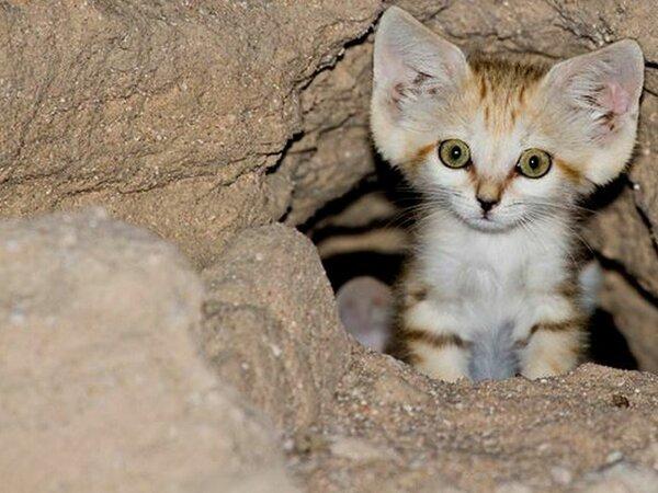 Барханный кот: Самый мелкий …