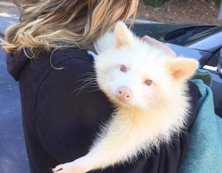«Агрессивная» енотиха-альбинос просто не может перестать обнимать свою спасительницу
