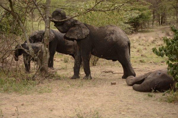 """""""Когда они """"целовались"""" хоботами, то слезы наворачивались на глаза…"""" Слонята не покидают маму в последний день ее жизни"""