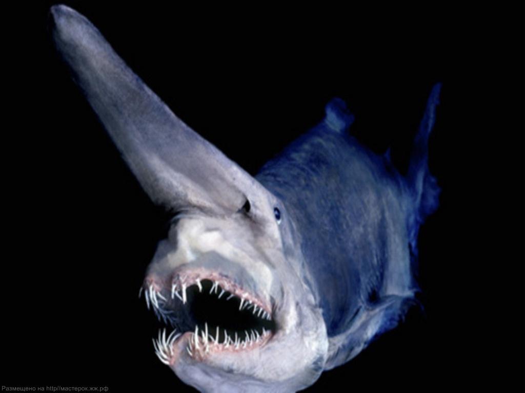 Акула-Гоблин опасный вымирающий хищник!