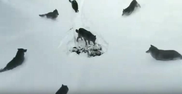 Он упал без сил, и его окружили волки… Видео, которое пробирает до мурашек!