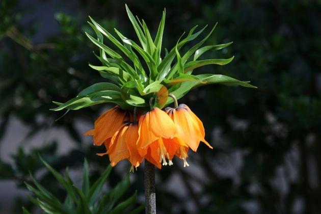 Посадите рябчика в цветник