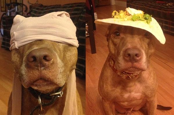 Cобачья жизнь: питбуль научился носить всякую всячину на голове, чтобы угодить хозяйке