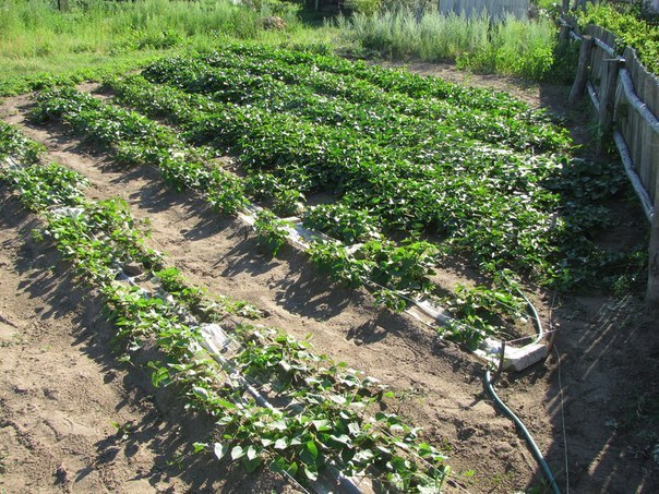 Разбиваем огород по методу Митлайдера