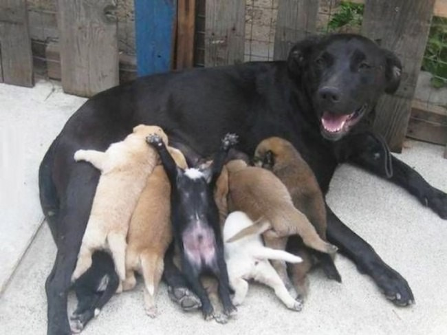 Мамы-собаки, которые безмерн…