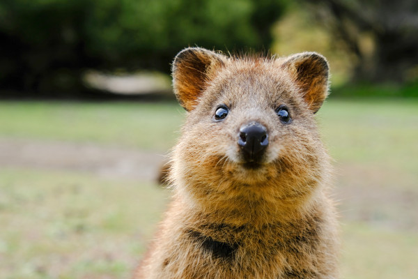 Google Search now helps you pronounce 'quokka'