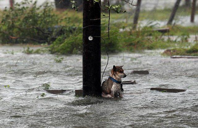 Хозяева бежали от урагана, а собаку бросили на привязи…