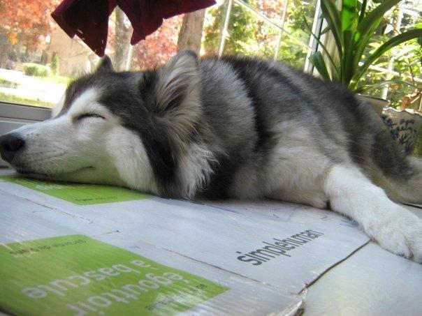 tally-husky-raised-by-cats-9