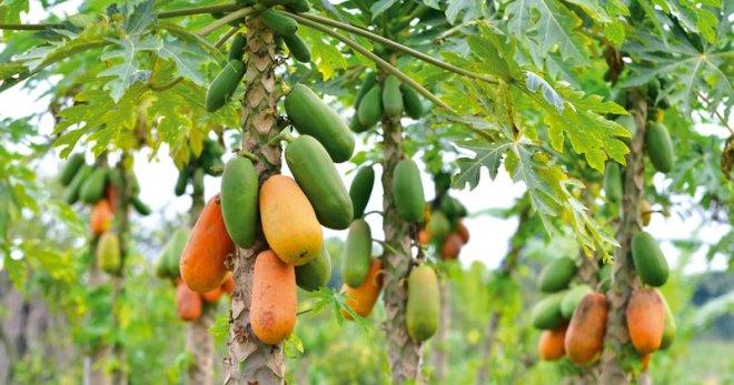 Процесс выращивания папайи на видео