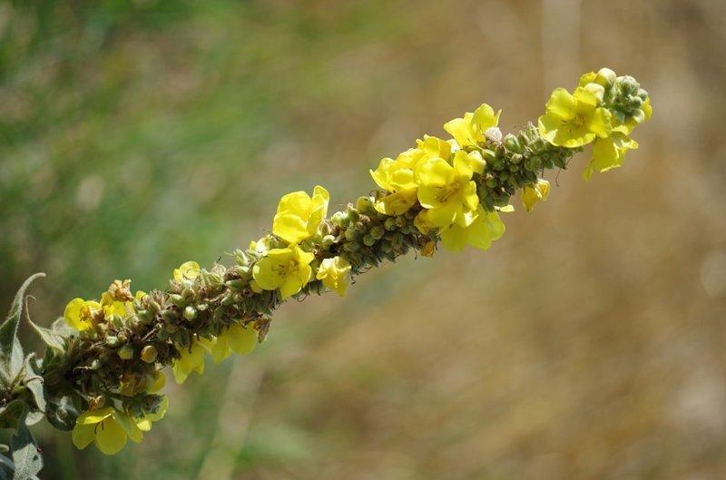 Коровяк - молодые листья можно употреблять в салатах, но лучше они подходят для вкусного чая выживание, интересное, растения, съедобные
