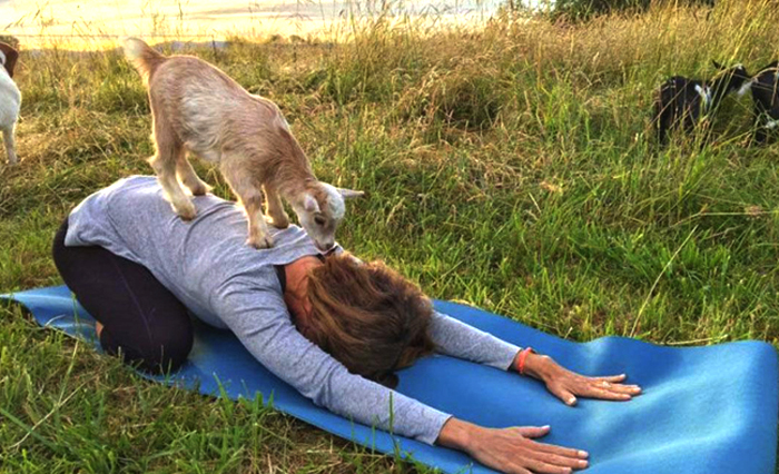 Йога с козочками: как животные помогают избавиться от стресса и тревог