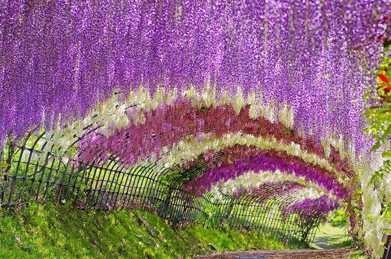 Туннель из глицинии в Японии