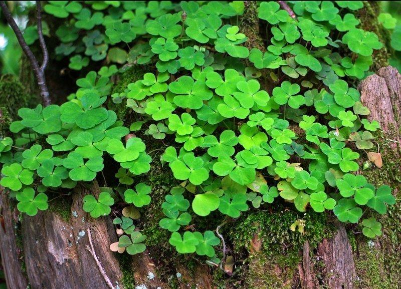 Кислица выживание, интересное, растения, съедобные