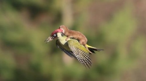 Летающий на дятле хорек поразил специалистов