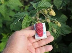 Как отличить обычную малину от крупноплодной