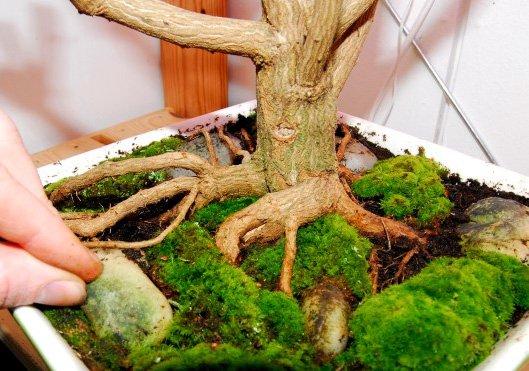 Бонсай чили на камне - Волшебный лес - продажа лучших семян табака и махорки а также семян чили. У нас всегда можно купить семен