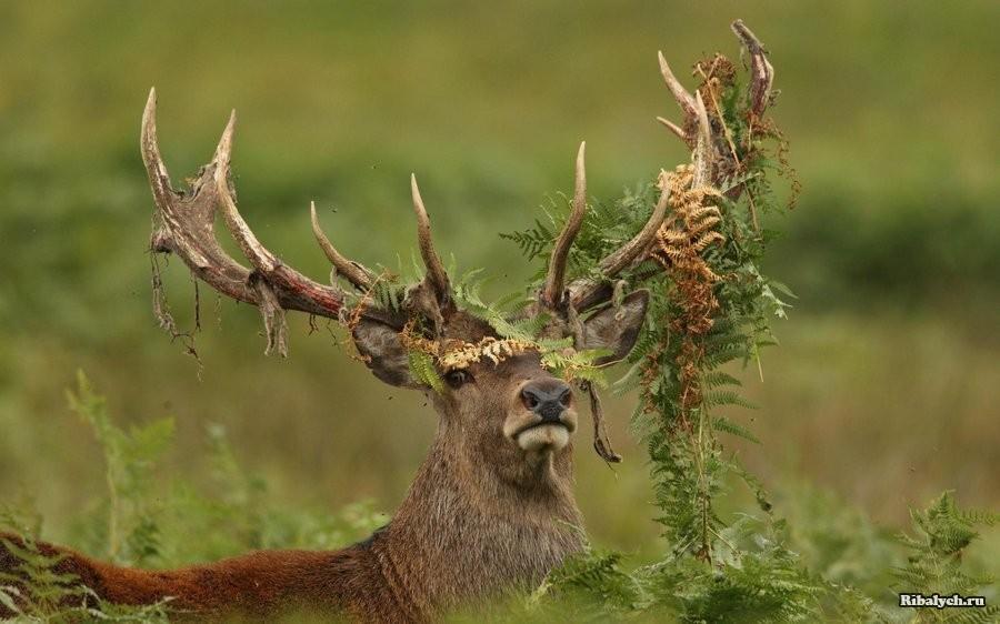 Олень наростил ребра за счет стрелы охотника