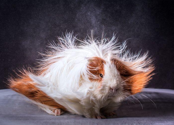 Свинки и их прически