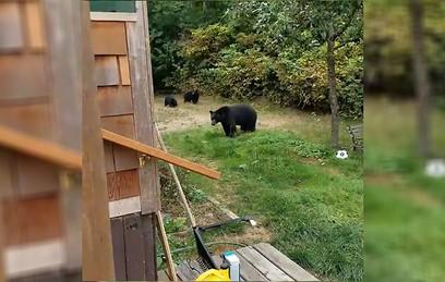 В Канаде медведи прислушались к просьбе уйти со двора. Видео